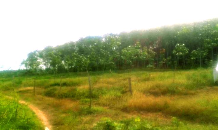lot tanah kebun di Pendang kedah untuk dijual