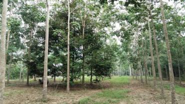 Tanah Kebun Changlun-Kodiang Untuk Dijual_3