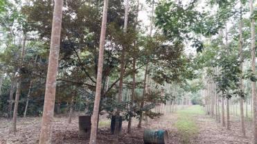 Tanah Kebun Changlun-Kodiang Untuk Dijual_4