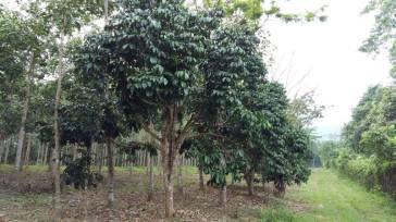 Tanah Kebun Changlun-Kodiang Untuk Dijual_5